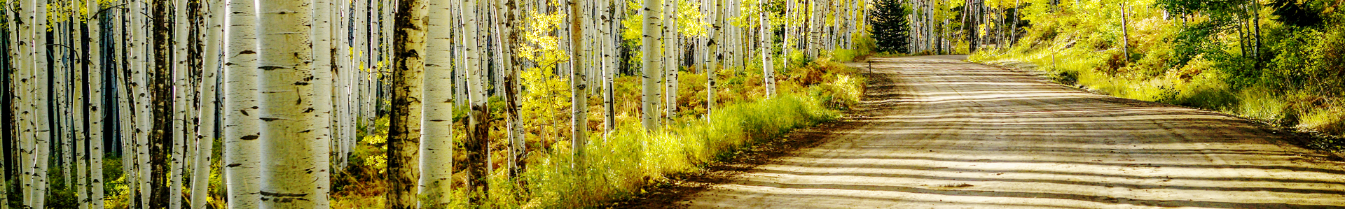 Dirt road through aspen trees